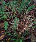 Beech Drops (Epifagus virginiana)