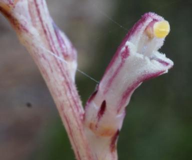 Beech Drops (Epifagus virginiana) upper sterile flowers