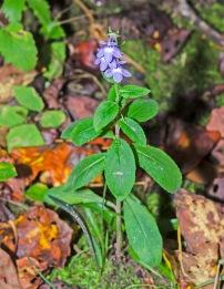 Downy Lobelia (Lobelia puberula)