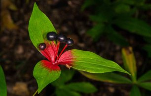 Indian Cucumber Root ( Medeola virginiana)