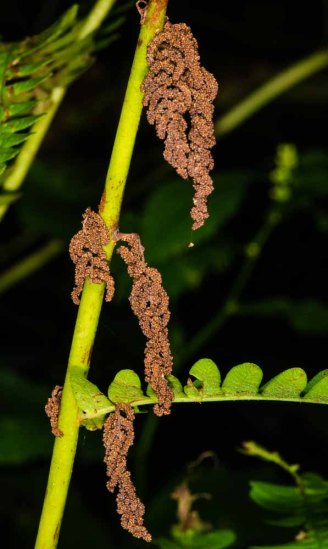 Interrupted Fern (Osmunda claytoniana)