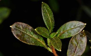 Rhododendron pilosa (Minniebush)
