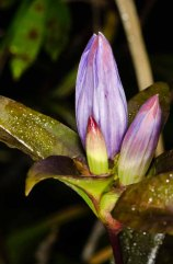 Closed Gentian (Gentiana clausa)