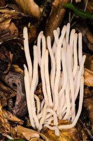 Fairy Fingers (Clavaria fragilis)