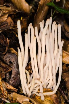 Fairy Fingers (Clavaria fragilis)
