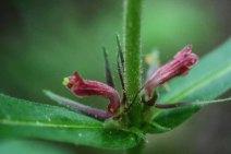 Orange-fruited Horse-gentian (Triosteum aurantiacum) blooms in May