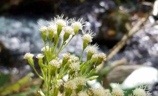 Ageratina altissima (White Snakeroot)