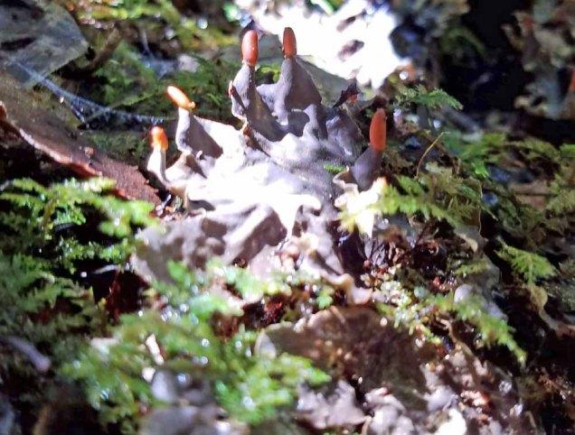 Dog Lichen (Peltigera membranacea) apothecia (reproductive structures)