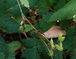 Monkshood (Aconitum uncinatum) Fruit
