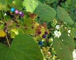 Porcelain Berry (Ampelopsis brevipedunculata)