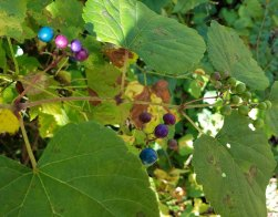 Porcelain Berry (Ampelopsis brevipedunculata*)