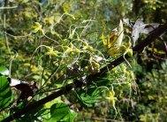 Sweet Autumn Clematis (Clematis terniflora*)