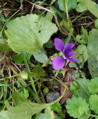 A Confused Common Blue Violet (Viola sororia)