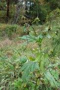 Giant Ragweed (Ambrosia trifida) Fruit