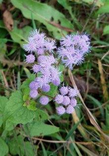 Mistflower; Ageratum (Eupatorium coelestinum)