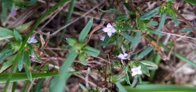 Buttonweed (Diodella teres)