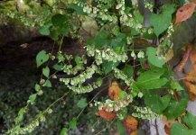 Climbing False Buckwheat (Fallopia scandens) in Seed
