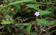 Field Bindweed (Convolvulus arvensis)