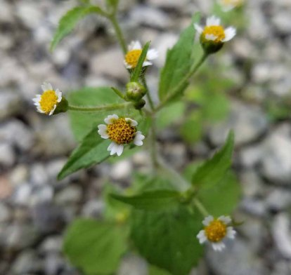 Peruvian Daisy (Galinsoga quadriradiata)