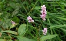 Pink Smartweed (Persicaria pensylvanica)