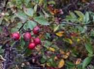 Swamp Rose (Rosa palustris) Fruit