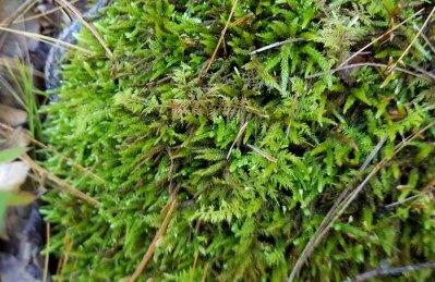 a Spoon Moss (Bryoandersonia sp.) and Thuidium
