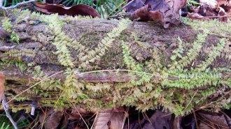 Thuidium Moss