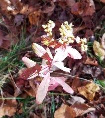 Flowering Spurge (Euphorbia corollata) Seed Pods