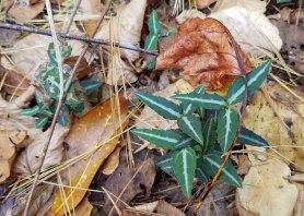 Spotted Wintergreen (Chimaphila maculata)