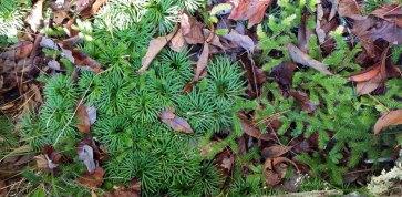 Mix of Lycopodium clavatum and Lycopodium digitatum