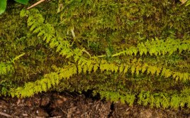 Fern Leaf Moss (Thuidium delicatulum)