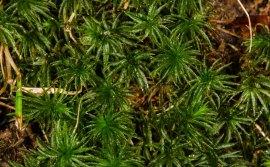 a Smooth Cap Moss (Atrichum sp)