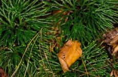 Fan Club Moss (Lycopodium digitatum