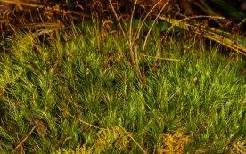 a Windswept Broom Moss (Dicranum sp.)
