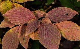 Alternate-Leaf Dogwood leaves (Cornus alternifolia)