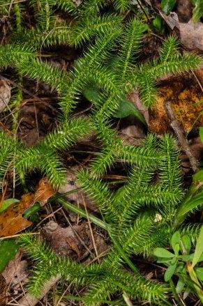 Running Clubmoss (Lycopodium clavatum)
