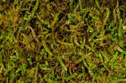 Bryoandersonia Moss (Bryoandersonia illecebra)