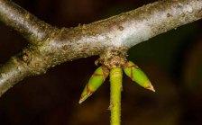 Buffalo Nut leaf buds (Pyrularia pubera)