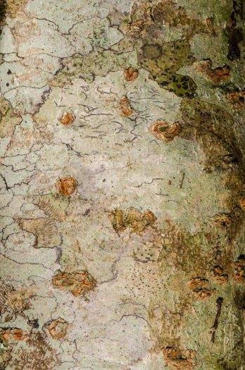 Buffalo Nut bark (Pyrularia pubera)