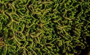 Millipede Weed (Bazzania trilobata)