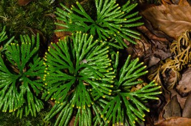 Fan Clubmoss (Lycopodium digitatum)
