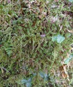 Loeskeobryum Moss (Loeskeobryum brevirostre)