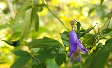 Monkshood (Aconitum uncinatum) Bloom