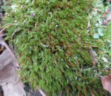 a Tetraphis Moss (Tetraphis pellucida)