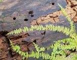 a Fern Moss (Thuidium sp.)