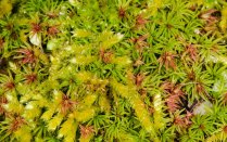 3. Atrichum and other mosses