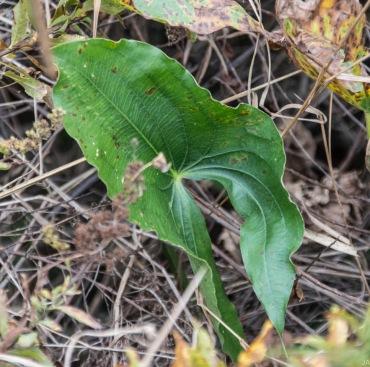 Arrowhead (Sagittaria latifolia)
