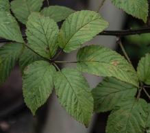Blackberry Leaves (Rubus sp)