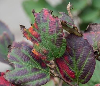 Blackgum Leaf (Nyssa sylvatica)