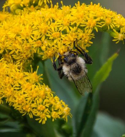 Goldenrod (Solidago sp.) & Bee
